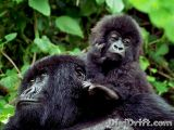 Image of The Week: Rwanda – Gorilla Mother and Baby