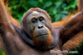 Malaysia - Borneo - Orangutan of Sepilok